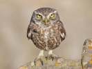 Little Owl/Athene noctua - Photographer: Jamie MacArthur