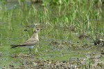 Collared Pratincole/Glareola pratincola - Photographer: Светослав Спасов