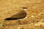 Collared Pratincole/Glareola pratincola - Photographer: Тео Тодоров