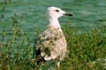 Caspian Gull/Larus cachinnans - Photographer: Николай Стоянов
