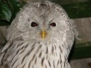 Ural Owl/Strix uralensis - Photographer: Ники Петков