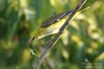 Eurasian Golden-oriole/Oriolus oriolus - Photographer: Sergey Panayotov