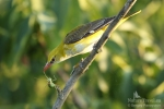 Авлига/Oriolus oriolus, Семейство Авлигови