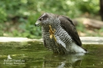 Northern Goshawk/Accipiter gentilis, Family Hawks
