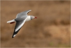 Grey-headed Gull/Larus cirrocephalus - Photographer: Hans-Wilhelm Grömping