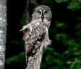 Great Grey Owl/Strix nebulosa, Family Owls