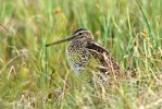 Great Snipe/Gallinago media - Photographer: Colin Bradshaw