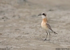 Greater Sand Plover/Charadrius leschenaultii, Family Plovers