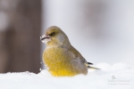Family Finches, European Greenfinch/Carduelis chloris - Photographer: Sergey Panayotov