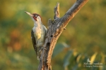 Eurasian Green Woodpecker/Picus viridis, Family Woodpeckers