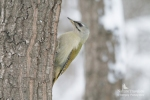 Grey-headed Woodpecker/Picus canus - Photographer: Sergey Panayotov
