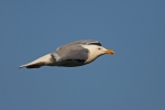 American Herring Gull/Larus smithsonianus - Photographer: Даниел Митев