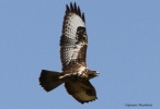 Common Buzzard/Buteo buteo - Photographer: Qenan Maxhuni