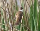 Great Reed-warbler/Acrocephalus arundinaceus - Photographer: Qenan Maxhuni
