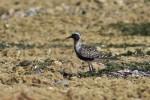 Grey Plover/Pluvialis squatarola - Photographer: Евгени Стефанов