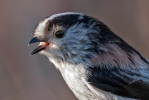 Long-tailed Tit/Aegithalos caudatus - Photographer: Иван Иванов