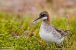 Red-necked Phalarope/Phalaropus lobatus, Family Sandpipers