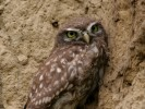 Little Owl/Athene noctua - Photographer: Борислав Борисов