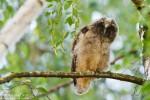 Long-eared Owl/Asio otus - Photographer: Борис Белчев