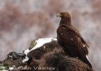 Golden Eagle/Aquila chrysaetos - Photographer: Младен Василев
