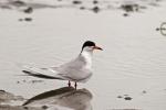 Forster's Tern/Sterna forsteri - Photographer: Даниел Митев