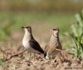 Collared Pratincole/Glareola pratincola - Photographer: Георги Герджиков