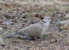 Family Pigeons, Doves, Eurasian Collared-dove/Streptopelia decaocto - Photographer: Georgi Slavov