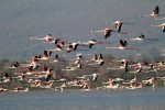 Greater Flamingo/Phoenicopterus roseus - Photographer: Светослав Спасов