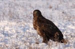 Common Buzzard/Buteo buteo - Photographer: Младен Василев