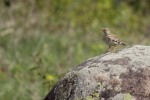 Family Larks, Wood Lark/Lullula arborea - Photographer: Николай Шопов