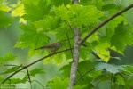 Family Warblers , Greenish Warbler/Phylloscopus trochiloides