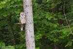 Ural Owl/Strix uralensis - Photographer: Борис Белчев
