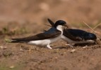 Family Swallows, Martins, Northern House-martin/Delichon urbicum - Photographer: Борис Белчев