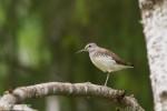 Green Sandpiper/Tringa ochropus - Photographer: Борис Белчев