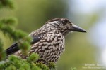 Family Crows, Spotted Nutcracker/Nucifraga caryocatactes