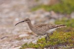 Whimbrel/Numenius phaeopus, Family Sandpipers