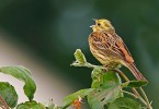 Yellowhammer/Emberiza citrinella - Photographer: Борис Белчев