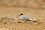 Little Tern/Sternula albifrons - Photographer: Борис Белчев