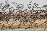 Белочела гъска/Anser albifrons - Фотограф: Борис Белчев
