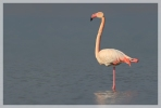 Greater Flamingo/Phoenicopterus roseus - Photographer: Georgi Slavov