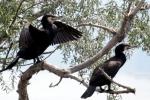 Great Cormorant/Phalacrocorax carbo - Photographer: Plamen Dimitrov