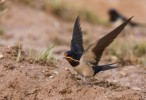 Barn Swallow/Hirundo rustica - Photographer: Борис Белчев