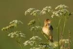 Marsh Warbler/Acrocephalus palustris - Photographer: Борис Белчев