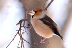 Hawfinch/Coccothraustes coccothraustes - Photographer: Младен Василев