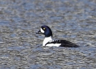 Barrow's Goldeneye/Bucephala islandica, Family Waterfowl