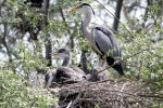 Family Herons, Bitterns, Grey Heron/Ardea cinerea