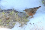 Пъстрогуша завирушка/Prunella collaris, Семейство Завирушкови