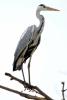 Grey Heron/Ardea cinerea - Photographer: Plamen Dimitrov
