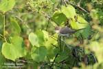 Orphean Warbler/Sylvia crassirostris, Family Warblers
