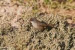Sardinian Warbler/Sylvia melanocephala - Photographer: Борис Белчев
